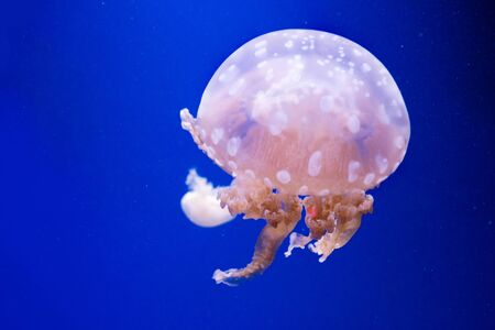 Spotted lagoon jellyfish. Spectacular jellyfish. Stock Photo