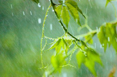 kropla deszczu: Creeper Virginia w deszczowych letni dzień
