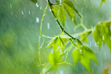 Virginia creeper in rainy summer day