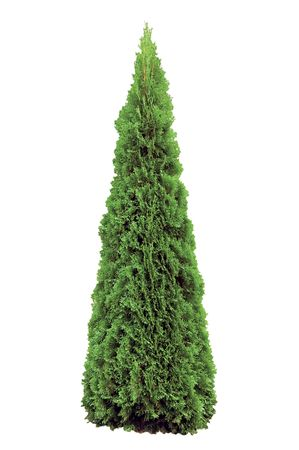 Thuja occidentalis 'Smaragd', Isolated On White