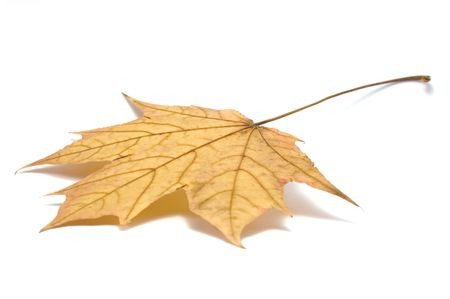 Fallen maple leaf, isolated Stock Photo - 5698811