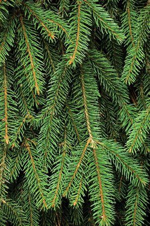 fir twig: Fresh Green Fir Twig Background Stock Photo