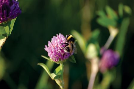 Bee On Clover, close-up photo