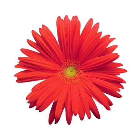 Red gerber daisy, isolated on white photo