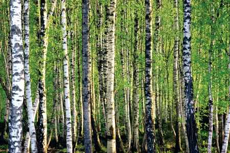 Birch grove at spring Stock Photo - 6552234