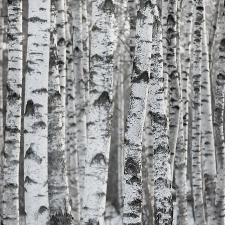 bark: Birch Tree Forest At Spring, Large Background