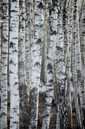 birch bark: Birch Tree Forest At Spring, Large Background