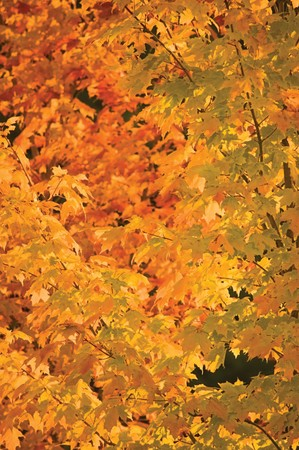 dicot: Abstract red and golden maple leaves in autumn, background