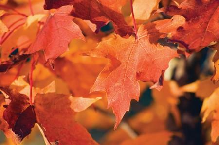aceraceae: Acer grandidentatum Nutt. bigtooth maple In Autumn, closeup