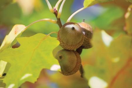 Three Oak Acorns and leaves soft macro closeup photo