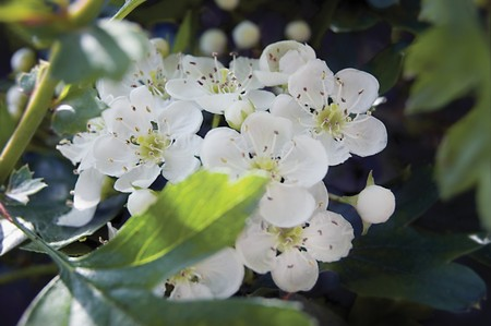 temperate region: Wild White Whitethorn Hawthorn Genus Crataegus Blossom and leaves Stock Photo