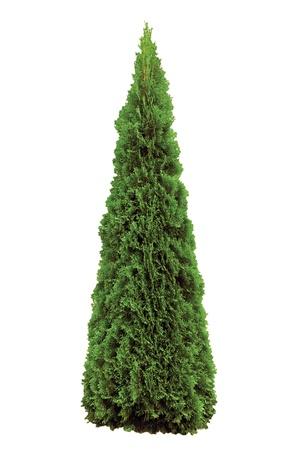 arborvitae: Thuja occidentalis Smaragd, American Arborvitae,  Isolated On White