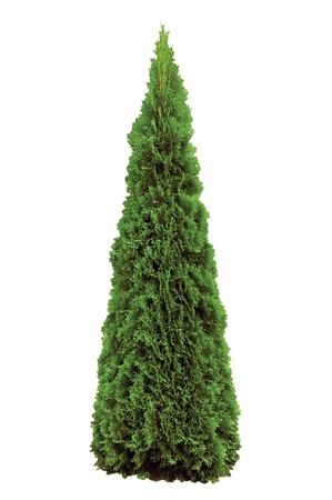Thuja occidentalis 'Smaragd', American Arborvitae,  Isolated On White Stock Photo - 9394908