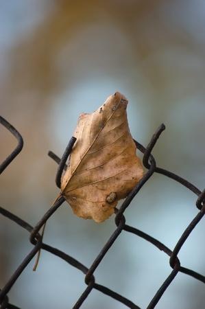 limetree: Fallen yellow autumn linden limetree leaf caught on rusty wire mesh fence, closeup, solitude concept Stock Photo