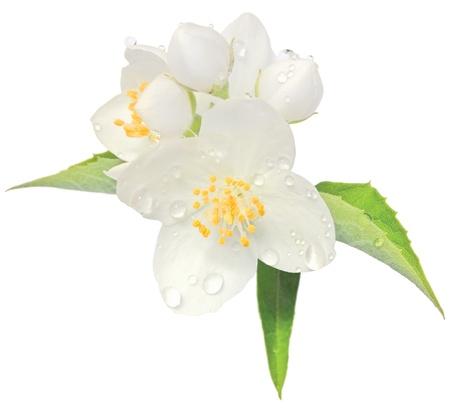 Jasmine fiore finto fiori d'arancio macro closeup isolato, Filadelfo coronarius L. lewisii fiori arbusto nativo dopo la pioggia, con gocce di rugiada Archivio Fotografico