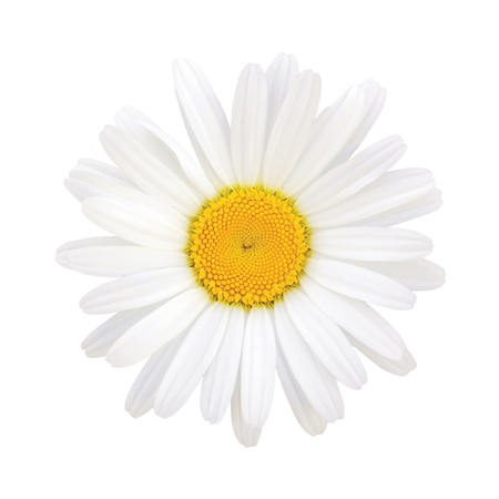 margriet: Madeliefje Leucanthemum vulgare Lam, Isolated macro close-up Stockfoto