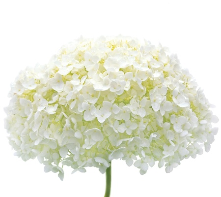 hydrangea flower: White Hydrangea Flower Blooms