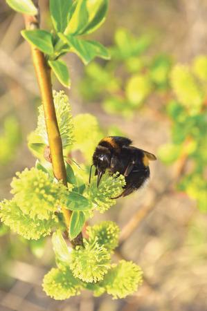 avispa: Bumblebee recoger el néctar en la floración florece coño Sauce floreciente arbusto arbusto flores rama, abejorro, gran primer plano macro detallada verticales Foto de archivo