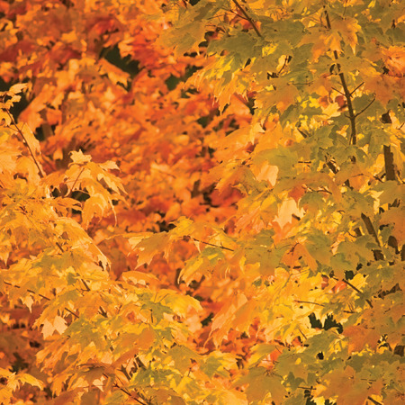 aceraceae: Abstract red and golden maple leaves in autumn background, large detailed vibrant colorful closeup