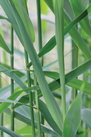 Common Reed Phragmites Leaf, Australis Cav. P. Communis Trin. ex Steud. Japonicus Leaves, Grass-like Plants, Large Detailed Vertical Macro Closeup, Gentle Bokeh photo