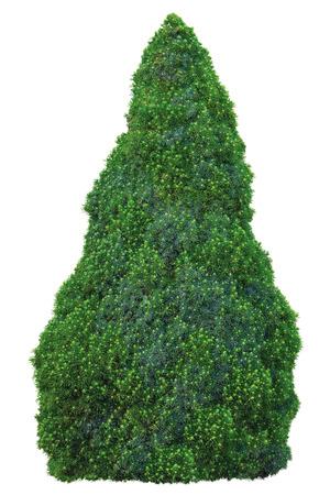 buisson: Blue Sander '' Conica 'Spruce Tree famille Pine Pinaceae Picea glauca Moench Voss, Jeune Sapling, Grand détaillée isolé Gros plan, aka blanc, Canada, Skunk, Cat, Black Hills, Western, Alberta, Porsild, evergreen conique arbustive bleu-vert, CoNiFe vert