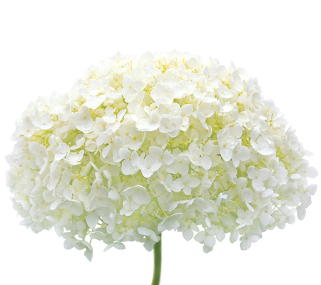 hardy: White Hydrangea Flower Blooms, Isolated Macro Closeup, Mophead Annabelle H. Arborescens, Tree Hortensie Smooth Anabelle Cold Hardy Shrub, Rain Water Dew Drops, Raindrops, Waterdrops, Dewdrops