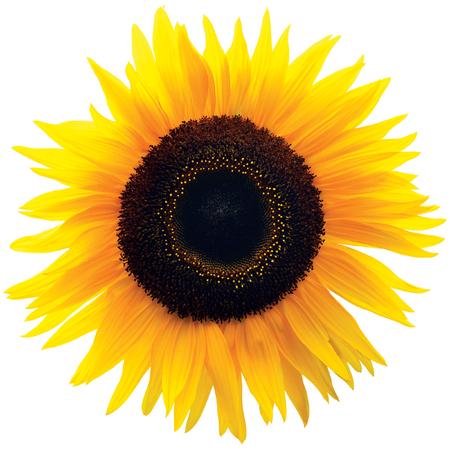 girasol: Cabeza de flor Girasol común, aislado Blooming Género Helianthus annuus H., brillante grande de colorido Primer macro detallada, pétalo vibrante de la textura del detalle del modelo, Negro Marrón disco Florets, Forb Anual Foto de archivo