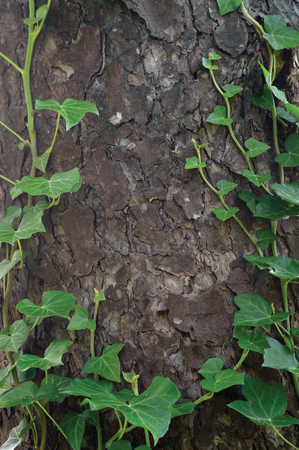 tree detail: Climbing common Baltic ivy stems, hedera helix L. var. baltica, fresh new young evergreen creeper leaves, large detailed vertical pine tree bark texture background, green wintergreen woody vine leaf macro closeup, textured copy space pattern detail Stock Photo