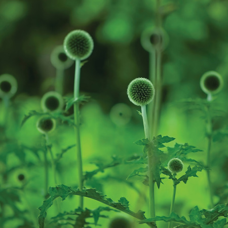 bristly: Globe Thistle Echinops Sphaerocephalus, young fresh green thorny thistles, large detailed plants closeup, multiple spherical flower heads, bristly petals, gentle bokeh