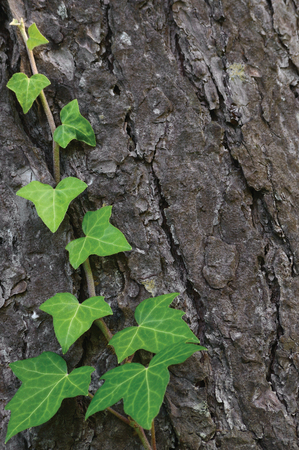species of creeper: Climbing common Baltic ivy stem hedera helix L. var. baltica, fresh new young evergreen creeper leaves, large detailed vertical pine tree bark texture background, green wintergreen woody vine leaf macro closeup, textured copy space pattern detail