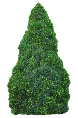 cone shaped: Pine family Pinaceae Picea Glauca Moench Voss Sanders Blue Conica Spruce Tree, Young Sapling, Large Detailed Isolated Closeup, aka White, Canadian, Skunk, Cat, Black Hills, Western, Alberta, Porsild, evergreen conical shrubby blue-green, green conife