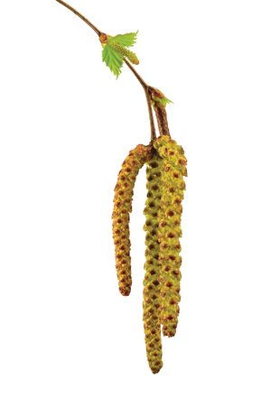 birchen: Birch tree catkin twig, betula pendula ament stem macro closeup detail, young spring catkins leaves, large detailed vertical isolated close-up