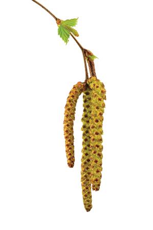 betula pendula: Birch tree catkin twig, betula pendula ament stem macro closeup detail, young spring catkins leaves, large detailed vertical isolated close-up