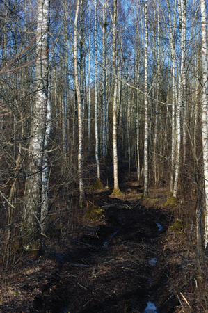 country roads: Dirt Rural Road Season Ruts, Wild Early Spring Mire, March Birch Tree Forest, Dirty Muddy Heavy Vehicle Tracks, Large Detailed Vertical Birches Landscape Scene, Impassable Village Country Woods, Countryside Rough Terrain, Bad Roads Mud Off-road, Ice-cover