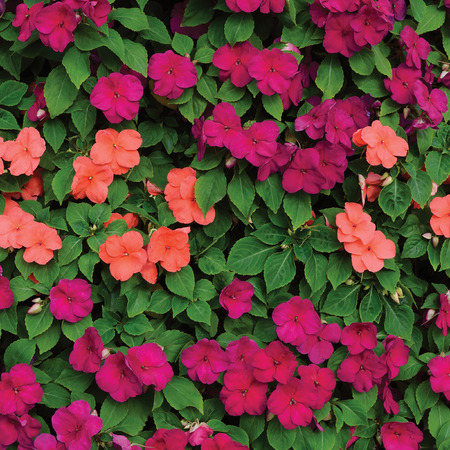 lizzie: Impatiens Walleriana Sultanii Busy Lizzie Flowers, Large Detailed Colorful Vertical Background Closeup Pattern, Magenta, Purple, Red, Pink, Aka Divine New Guinea Balsam, Sultana, Balsamina, Balsaminaceae, Flowering Herbaceous Perennial Plant Bed Texture
