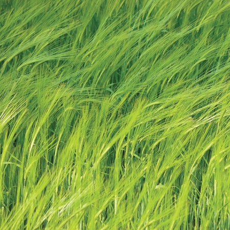 cebada: Fresh New Green Common Wild Barley Field Horizontal Background Pattern, Hordeum vulgare L.