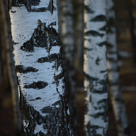 Birch Tree Grove Trunks Bark Closeup Background, Large Detailed Vertical Birches March Landscape Scene, Rural Early Spring Season, Wild Forest Trees Trunk Group Vivid Detail, Village Country Woods, Countryside, Sunny Golden Hour Afternoon