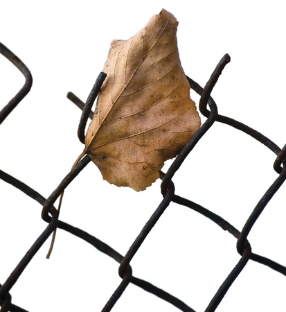 Fallen yellow autumn linden limetree leaf caught on rusty wire mesh fence, isolated vertical closeup, solitude concept copy space, large detailed common lime tree autumnal metaphor macro detail Reklamní fotografie