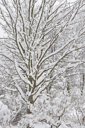 Snowy winter trees, fresh new snow covered branches after blizzard snowstorm, heavy snowfall drifts, multiple tree twigs detail, large detailed vertical closeup Reklamní fotografie
