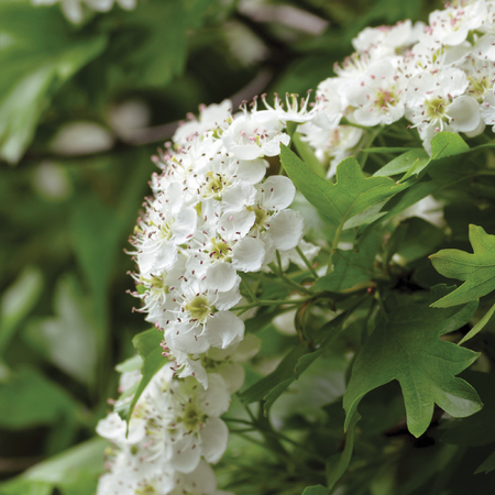 Common hawthorn crataegus monogyna shrub tree in bloom, wild white oneseed whitethorn blossom and leaves, blossoming flower heads, large detailed vertical macro closeup Reklamní fotografie