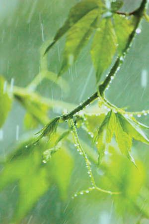New Virginia Victoria Creeper Leaves, Early Summer Rain Raindrops