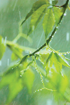 New Virginia Victoria Creeper Leaves, Early Summer Rain Raindrops Stock Photo