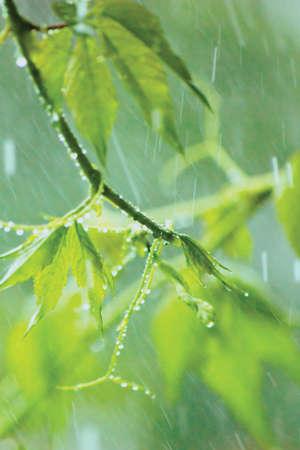 New Virginia Victoria Creeper Leaves
