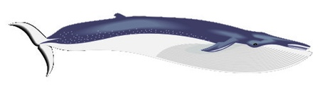 fin whale Stock Vector - 13330117
