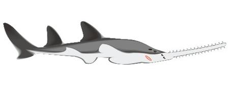 sawfish Stock Vector - 13330183