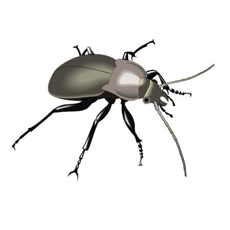 arthropod: beetle Illustration