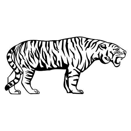 siberia: white tiger Illustration