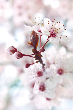 plum flower: Close up of the blooming branch of the fruit tree.
