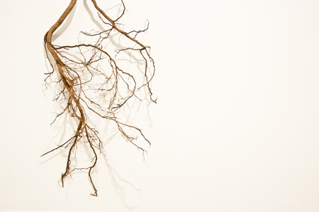 Tree roots isolated on the white background photo