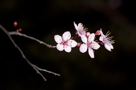 Close up of the blooming branch of the fruit tree.
